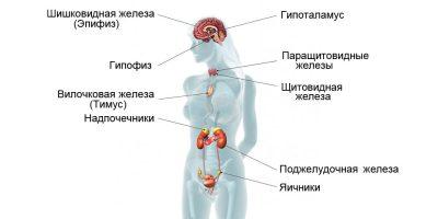 Эндокринная система вырабатывает гормоны